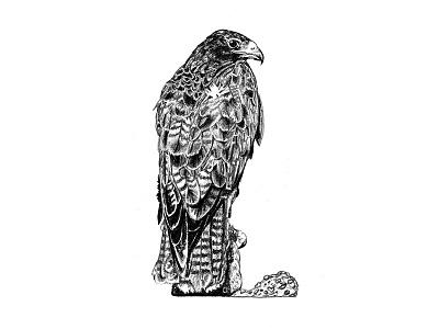 Galapagos Illustrations - Hawk art graphite drawing graphite illustration scientific illustration birds hawk galapagos