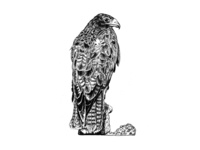 Galapagos Illustrations - Hawk
