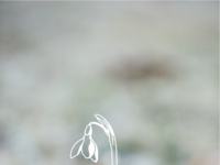 Snowdrop bg
