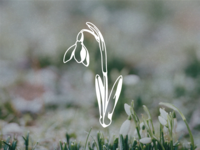 Snowdrop Vector Illustration