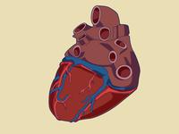 Heart (maybe final) update anatomy heart