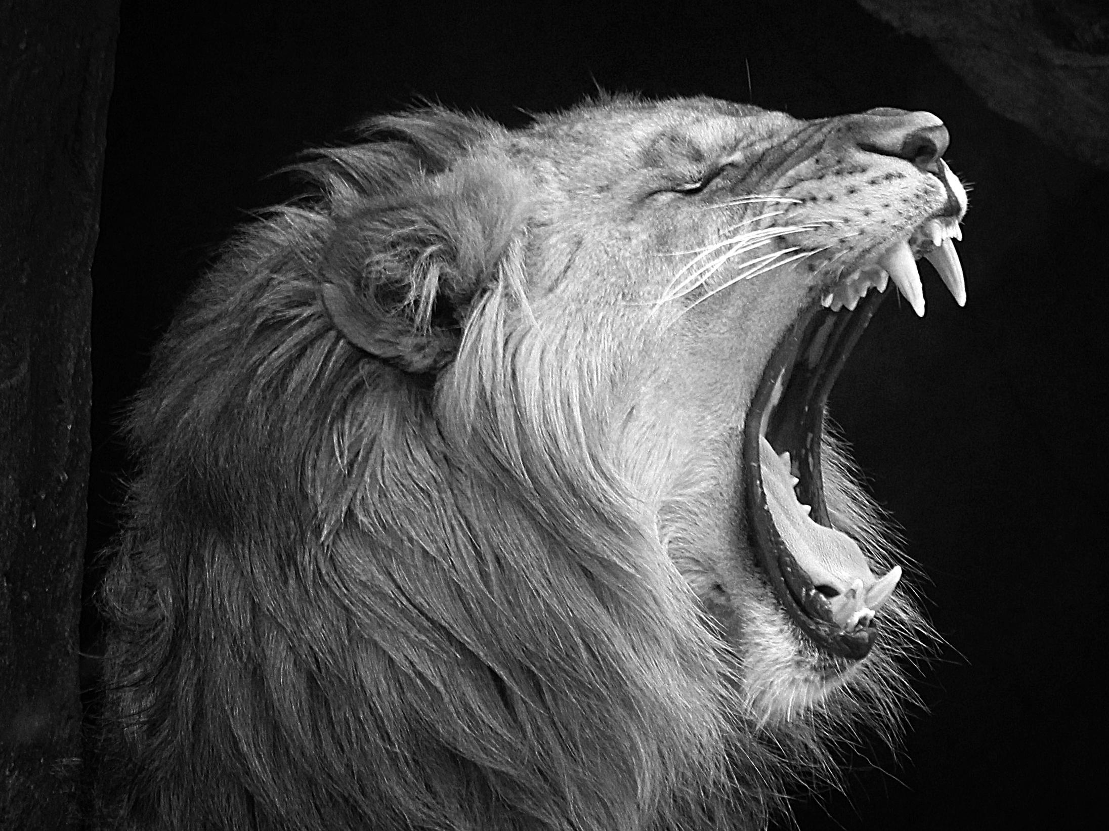 Lion  b w