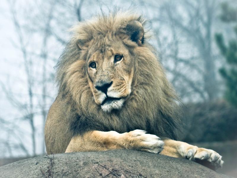 Misty Lion somber fog wildlife photo wild animals photography lion chicago big cat