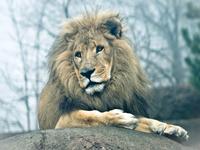 Misty Lion