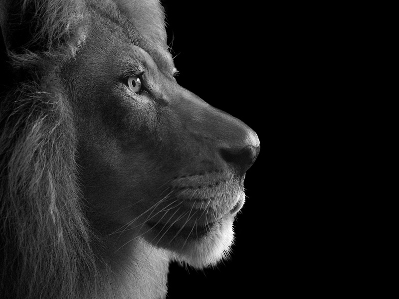 King wildlife photo blackandwhite wild animals photography lion big cat