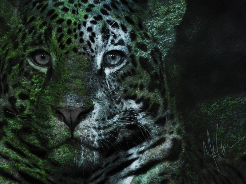 Nature of the Beast - 2 big cat chicago artist nature of the beast series photoshop art melinda klein photography mixed media jaguar photoshop design photography wild animals