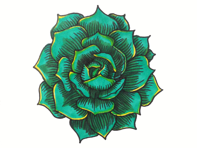 succulent drawing by rachael morokoff on dribbble