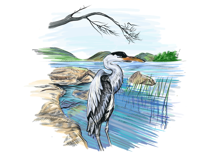 Bird #5 Heron wildlife acadia animal digital tablet procreate painting illustration
