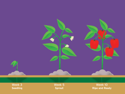 Life of a Pepper Timeline