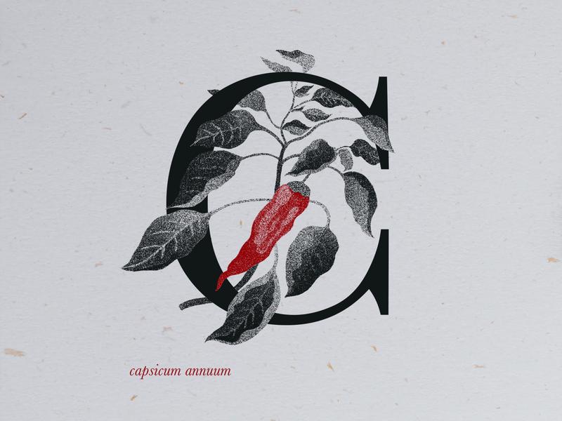 chili pepper procreate art procreate vintage design graphic design art pepper botanical drawing botanical art drawing illustration