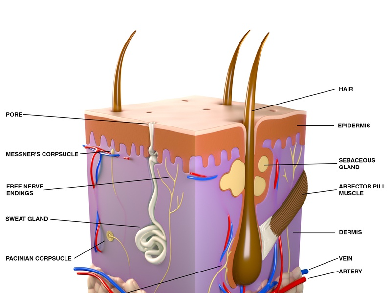 Skin Section (Labelled) anatomical medical design animation visualization illustration cgi 3d