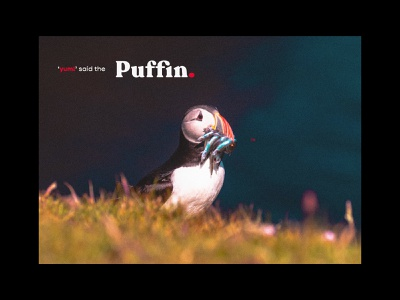 Puffin. child friendly childrens book nature design nature image editing bird photography puffin print design poster art nature photography nature art