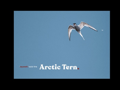 Arctic Tern. minimalism night nature photography nature image editing blue sky poster art humour funny childrens book prints bird nature art