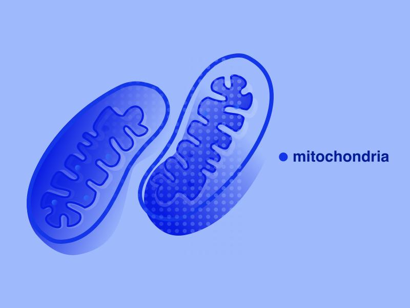 Mitochondria — illustration biology cell illustration flat minimal mitochondria