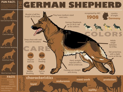 German Shepherd Infographic poster design illustration information infographic design
