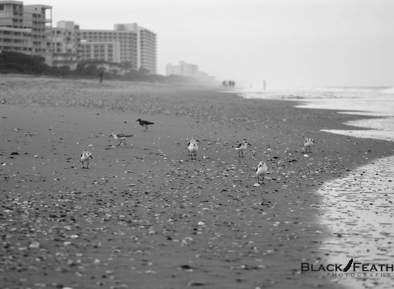 Black & White Shorebirds wildlife art wildlife photography stock photography stock photos photographer photography website photography
