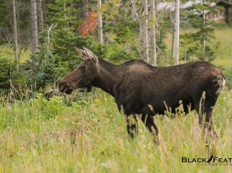 Moose- Wildlife Photography wild animal wilderness wild west photo wildlife photography lightroom photoshop photographer moose wildlife photography