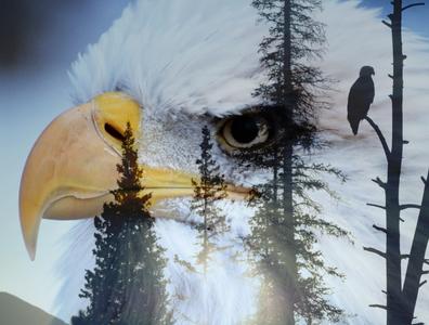 Eagle Art birds wildlife photoshop art photography photoshop eagle double meaning double exposure