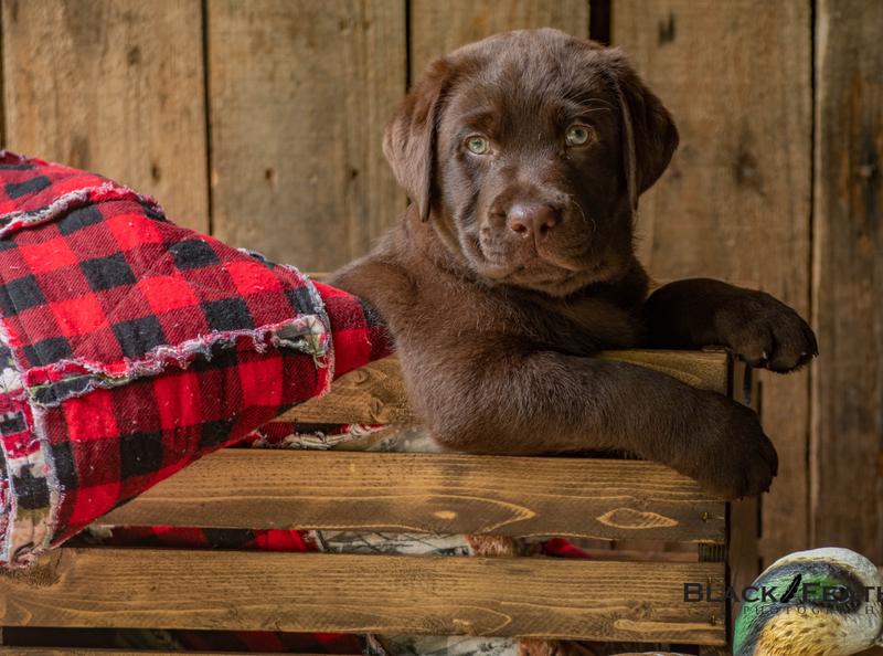 Chocolate Lab Puppy lightroom puppy photography dog photography pet photography photography