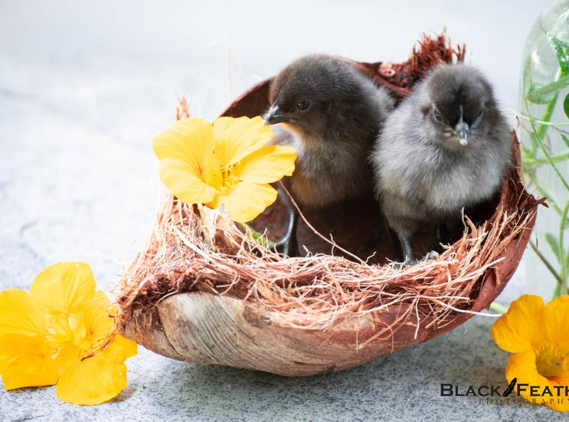 Coconut Chicks digital art photography photoshop stock photography digital art photographer photography
