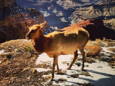 Elk photoshop photography beauty nature still color animal elk grand canyon winter snow arizona