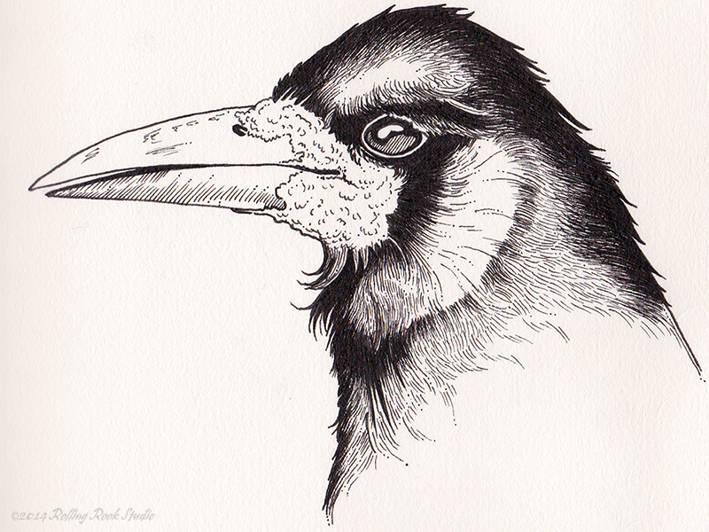 Rook rook raven crow corvid ink illustration drawing micron