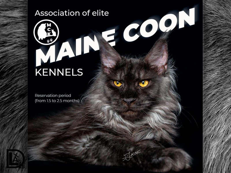 Club Maine Coon social media design collage instagram stories instagram post landing page social media design social media banner web design