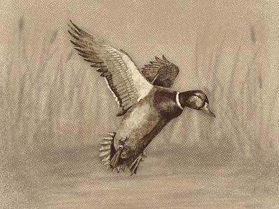 Mallard Illustration truegrittexturesupply drake texture illustration waterfowl duck mallard