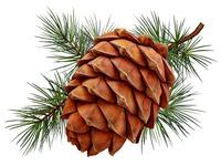 Cedar cone