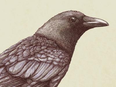 The Crow illustration etching drawing bird crow line work feather digital monotone painting eye beak