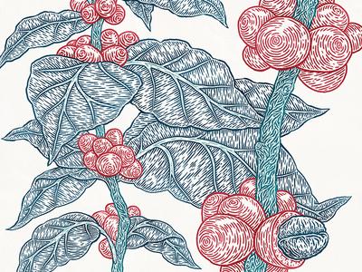 Woolworths detail flora botanical drawing etching bean coffee berry leaf tree