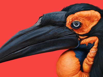 Southern ground hornbill eyes feathers art digital details study painting color bird