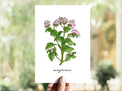 Marjoram | Mejorana markers herb aromatic herbs illustration copics marjoram