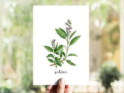 Sage | Salvia illustration copics markers aromatic herb herb salvia sage