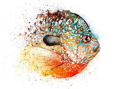Longear Sunfish Watercolor illustration longear fish fly fishing sunfish watercolor