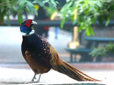 Ring necked Pheasant bird photography pheasant