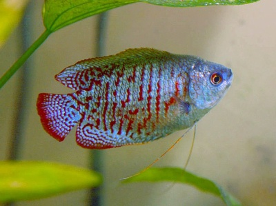 Male and female dwarf gourami gourami dwarfgourami aquarium fishtank