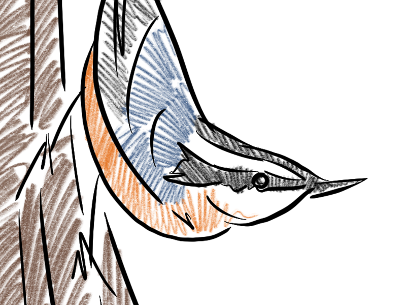Nuthatch climbing dribbble