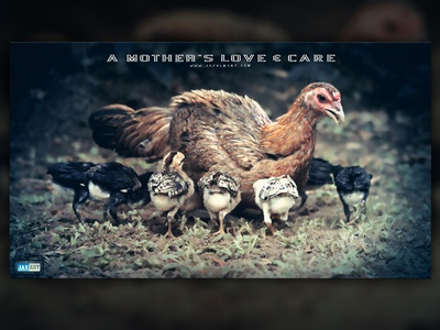 A MOTHER'S LOVE & CARE mother mom mum love care jaydenart chicken chick chicks mothers lovely day