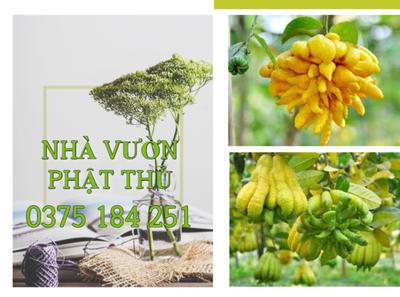 PHẬT THỦ XUẤT KHẨU 0375 184 251 đông y logo fruits cây giống cây cảnh phật thủ nhà vườn phật thủ nhà vườn phật thủ fruit bonsai