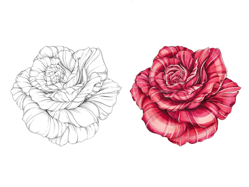 Rose Illustration: Line/Color procreate color black and white botanical illustration surface design packaging botanical pattern illustration roses rose