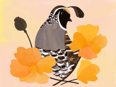 California State Bird & Flower botany flower bird california illustration