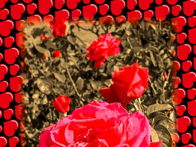 Roses roses rose design photoshop graphicdesign graphicart flower