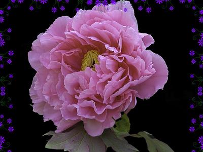 Botan 1 graphicart collage flower photoshop 清水公園 牡丹