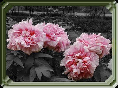 Botan 2 清水公園 牡丹 collage flower graphicdesign graphicart photoshop