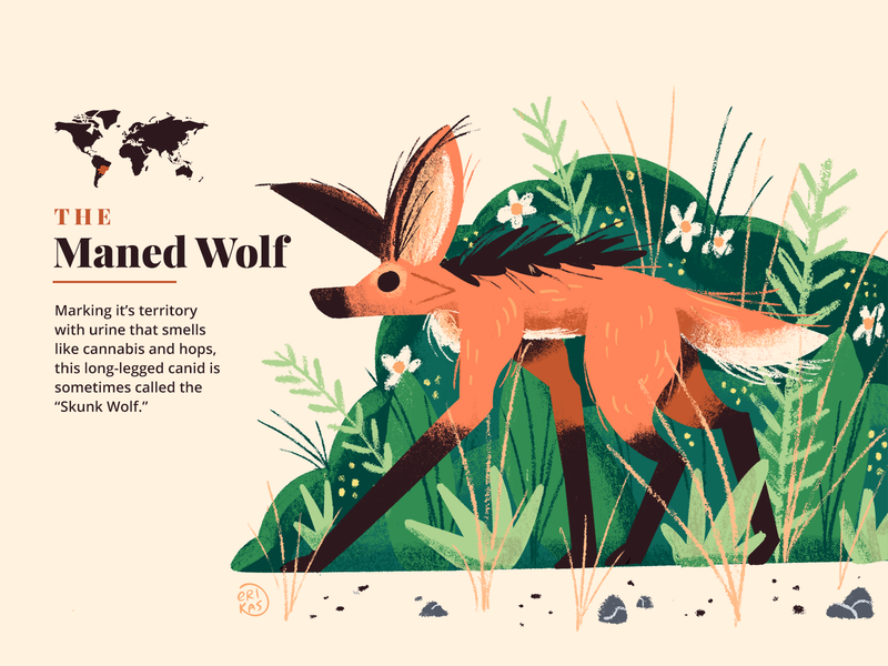 Maned Wolf cute grasslands forest illustration fact animal fox wolf