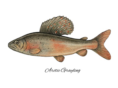 Arctic Grayling fishing mixed media artwork scientific illustration digital art artistic art fish arctic grayling