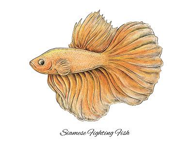 Siamese Fighting Fish exotic beautiful artistic aquarium illustration artwork art siamese fighting fish