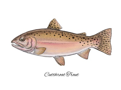 Cutthroat Trout digital art mixed media realistic science illustration art apparel print fishing fish trout cutthroat trout