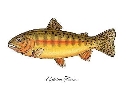 Golden Trout animals nature bright scientific illustration artwork art apparel print design fishing fish trout golden trout